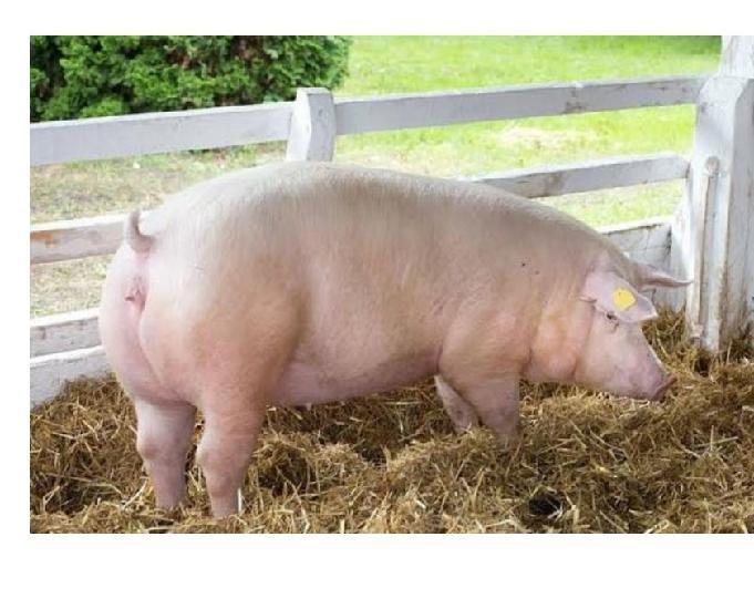 estou doando um porco