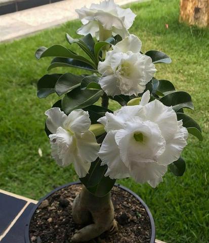 Rosas do deserto - joão pessoa