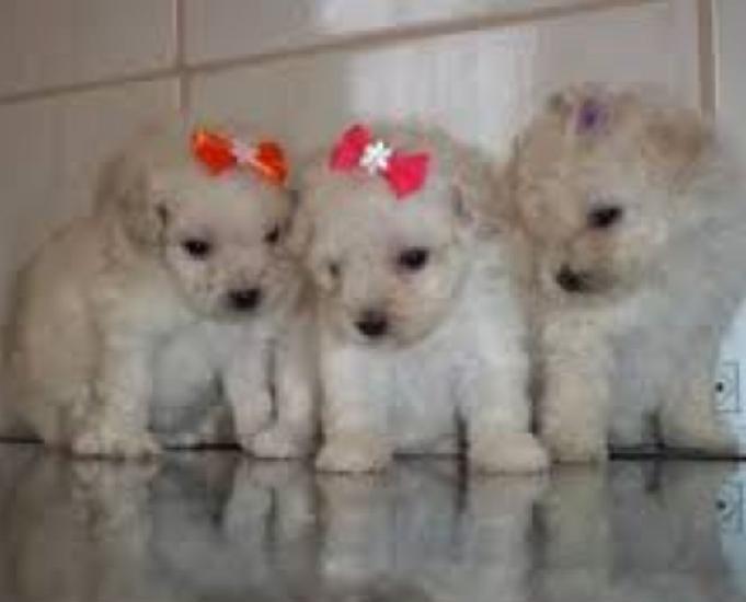 Poodle mini Lindos Filhotes