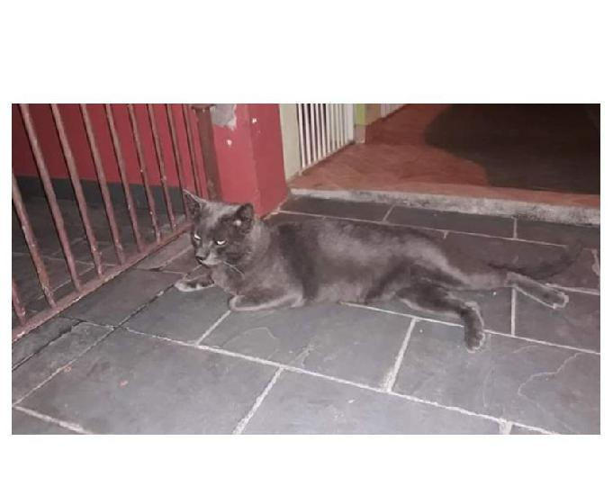 Diamante, lindo gatão cinza já castrado!