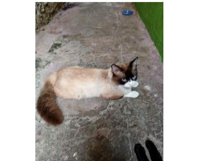Lobinho, lindo gatinho castrado de olhos azuis!