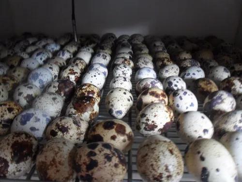 60 ovos codornão + 1 dz brahma light