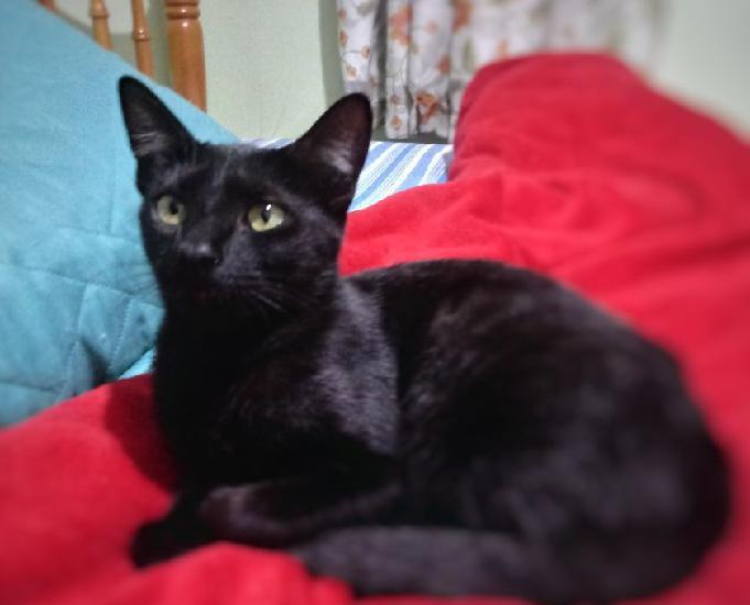 Linda gatinha preta, desverminada, apta à adoção!