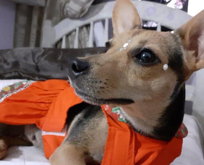 Adoção cadelinha 2 anos - porte pequeno
