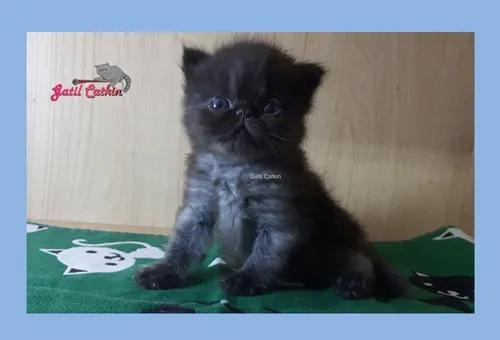 Filhote macho persa black tabby (castrado)