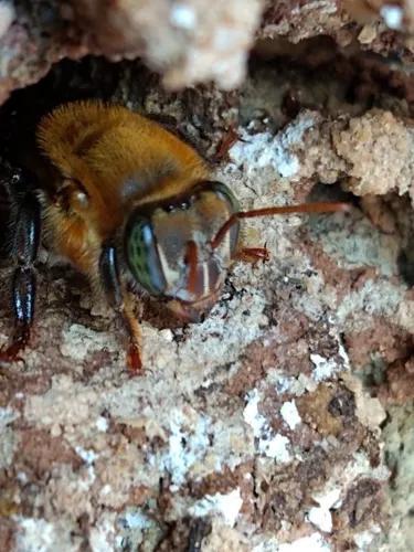 Atrativo feromônio abelha jataí mandaçaia tubuna