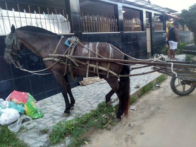 Cavalo 7 anos manso anda de trote e guinilha da montaria