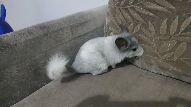 Chinchila filhote