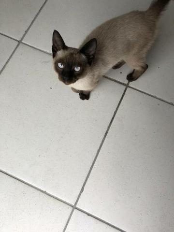 Doação gato siamês 4 meses