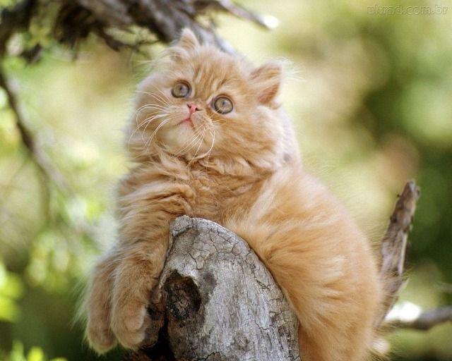 Gato Persa 4 meses filhotão