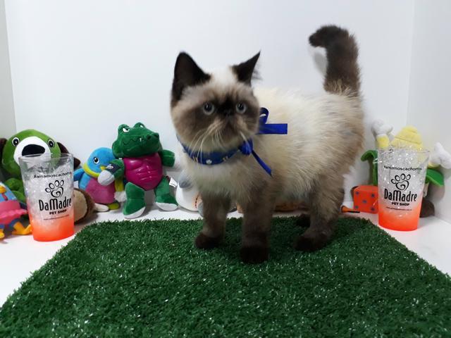 Gato persa macho exótico himalaio