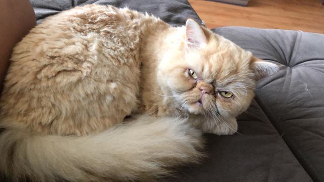 Gato persa procura gata persa para cruzar