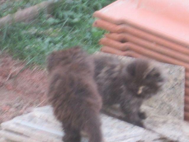 Gato persas filhote