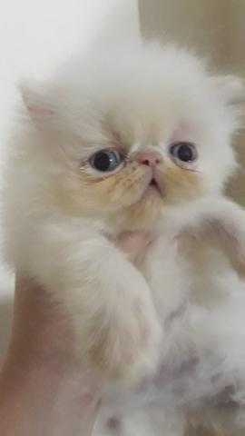 Linda femêa de gato persa himalaia