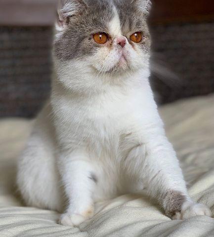 Show de gato persa macho exotic shorthair extremado pelo
