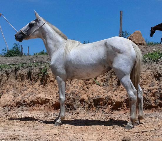 Vedete - égua mangalarga marchador registrada