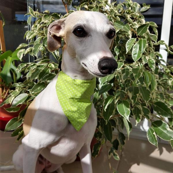Kit bandanas para cães pequeno porte