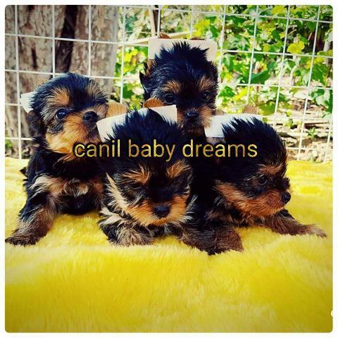 Canil baby dreams / yorkshire linhagem de campeões de