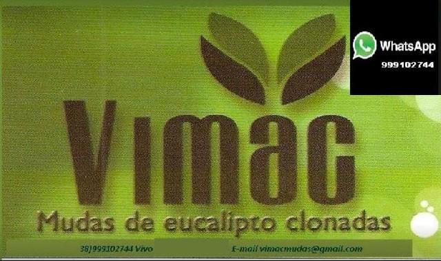 Mudas de eucaliptos- 38-999102744 vimac mudas ltda