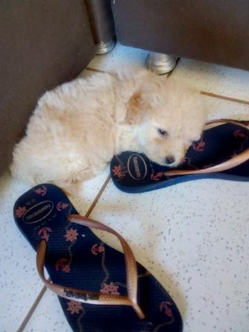 Poodle toy fêmea pura