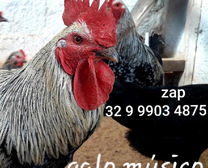 Galo músico. ovos galados pintinhos frangos franga galinhas