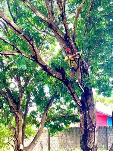 Podas de árvores com motosserra