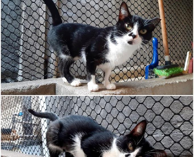 Angel, linda e amorosa gatinha já castrada para adoção!