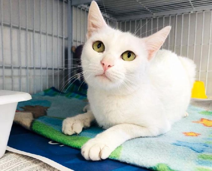 Cocada, linda e amorosa gatinha já castrada para adoção!