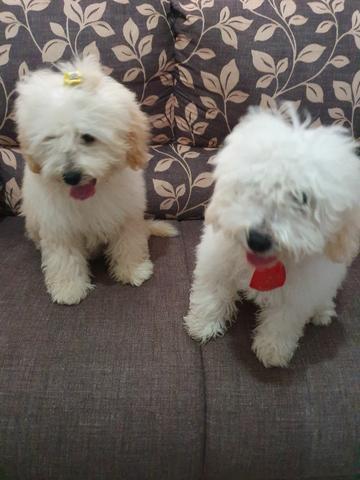 Filhotes de poodle toy 4 meses