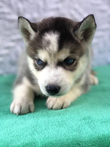 Husky siberiano com pedigree e microchip