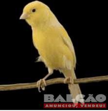 Vendo canário belga macho cantando
