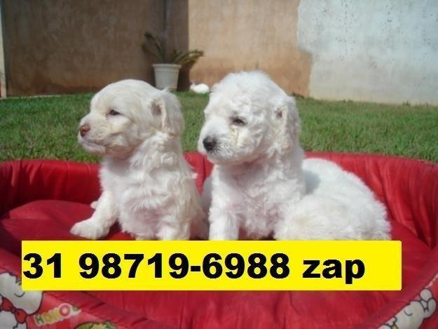 Canil filhotes cães em bh poodle yorkshire basset shihtzu