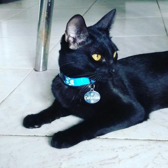3 coleira com plaquinha de identificação para gato.