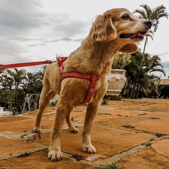 Peitoral para cachorros com guia - pequeno porte - listrada