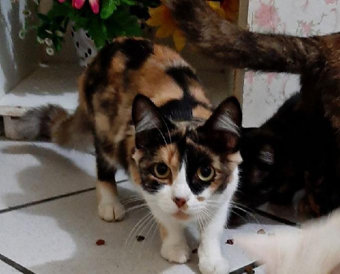 Linda gatinha tricolor castrada para adoção!