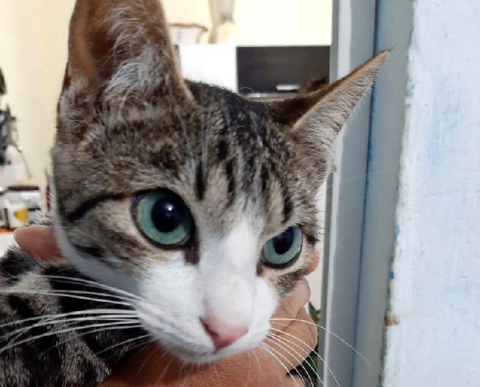 Lindo gatinho filhote castrado para adoção!