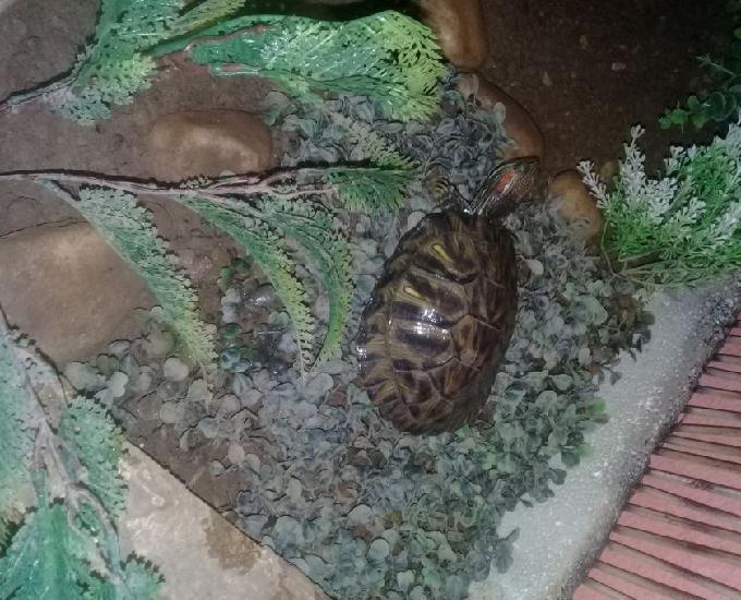 Tartaruga orelha vermelha