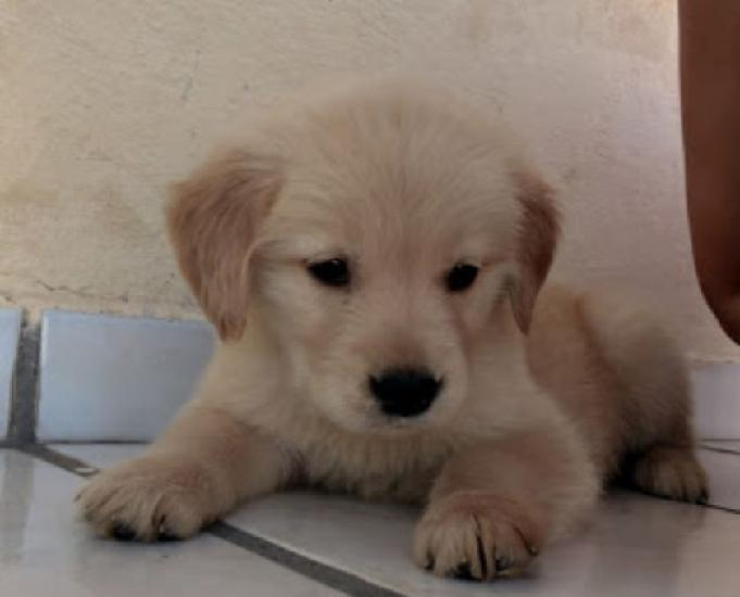 Golden retriever filhote