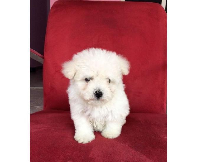 Poodle toy último filhote machinho branco