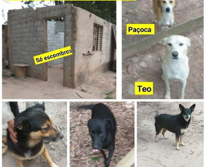 Cães lindos, castraos e vacinados