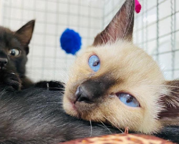 Blueberry, lindo e amoroso gatinho filhote já castrado.