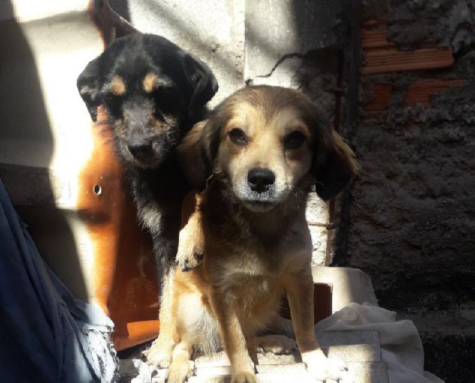 Doação de cachorra e 6 filhotes