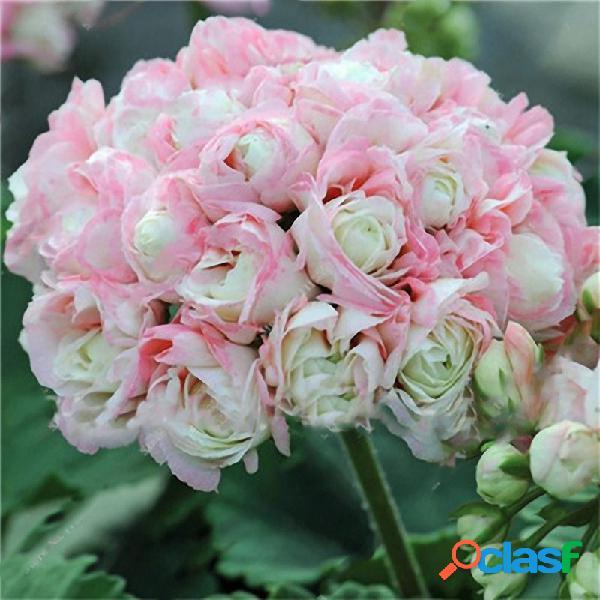 Egrow 100 pcs jardim gerânio sementes raro flor em vaso sementes decoração ao ar livre perene planta