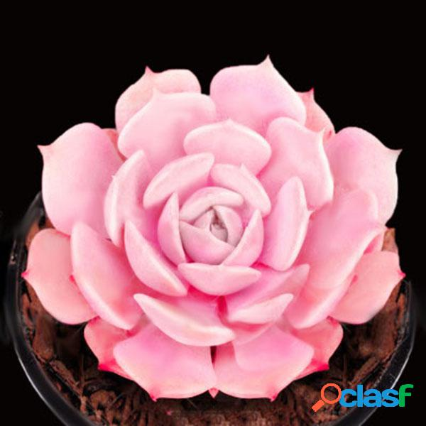 Egrow 100 unidades / pacote rosa suclents sementes diy planta bonsai em vasos de flores para casa jardim pátio