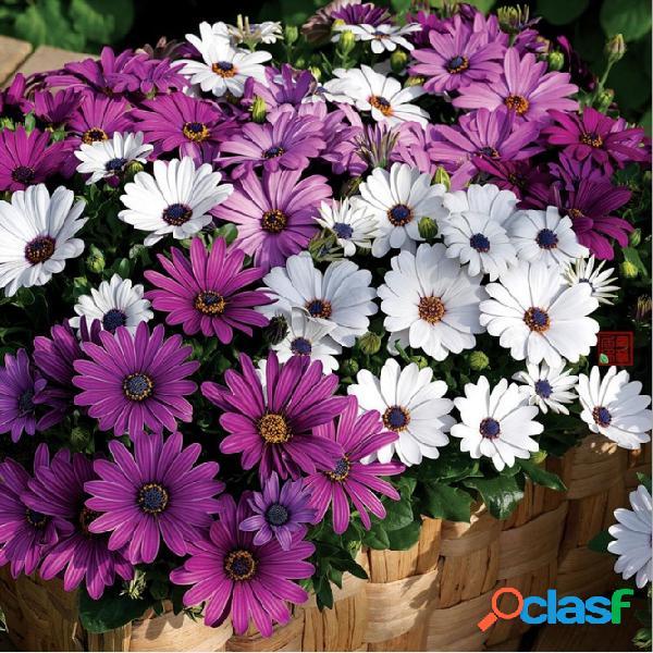 50 pcs africano azul olhos margarida planta fácil crescer osteospermum bonsais cape mix cor flor da herança
