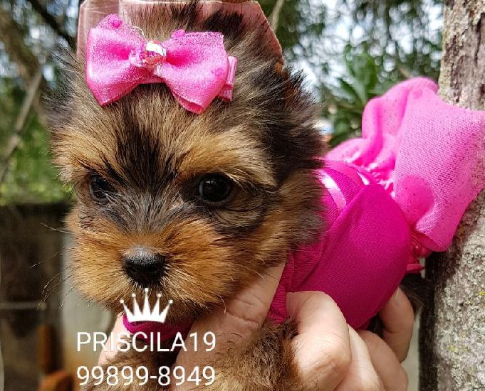 Yorkshire terrier baby faces