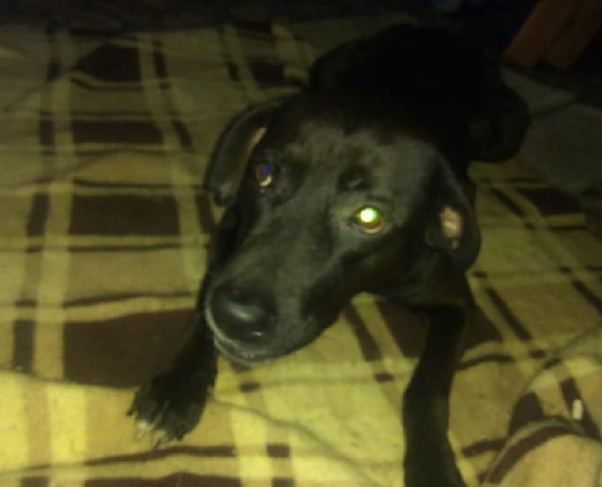 Labrador 1 ano
