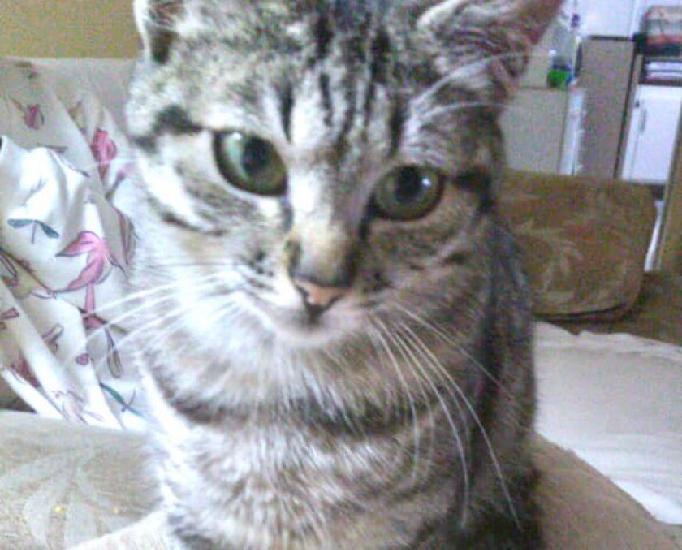 Mimi linda gatinha bebê para adoção
