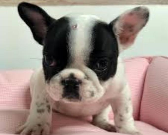 Carinhoso bulldog frances! já com v10! sp