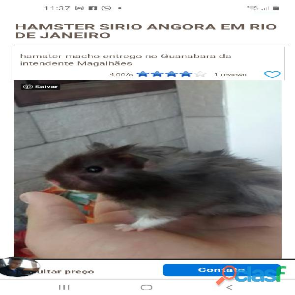 Compro um hamster sírio angorá peludo cinza urgente